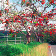 Blooming Flamboyan Trees Along A Country Road Poster