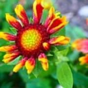 Blooming Gaillardia Poster