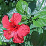Blooming Hibiscus Poster