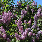 Blooming Lilacs Poster