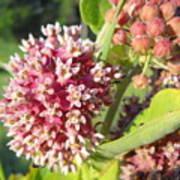 Blooming Milkweed Flowers Poster