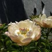 Blooming Peonies Poster