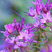 Blooming Phlox Poster