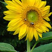 Blooming Sunflower Closeup Poster