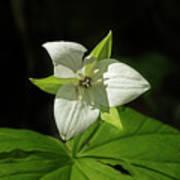 Blooming Trillium Poster