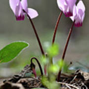 Blossom Of Cyclamens Poster