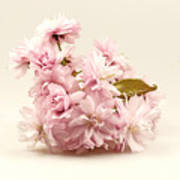 Blossoming Cherry Twig Poster