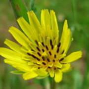 Blossoming Yellow Goatsbeard Poster