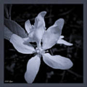 Blossoms In Black And White Poster