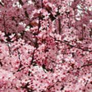 Blossoms Pink Tree Blossoms Giclee Prints Baslee Troutman Poster