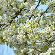 Blossoms Whtie Tree Blossoms 29 Nature Art Prints Spring Art Poster