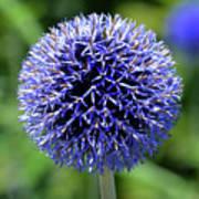 Blue Allium Poster