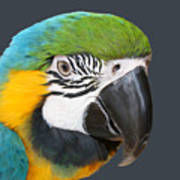 Blue And Gold Macaw Digital Freehand Painting Poster