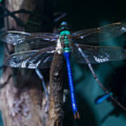 Blue And Green Dragonfly Poster