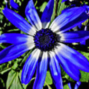 Blue And White African Daisy Poster