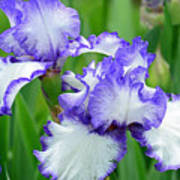 Blue And White Iris Poster