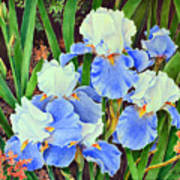 Blue And White Irises Poster
