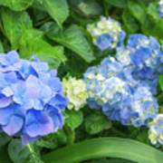 Blue And Yellow Hortensia Flowers Poster