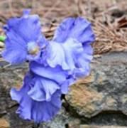 Blue Angel - Iris Poster