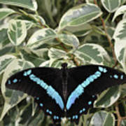 Blue-banded Swallowtail Butterfly Poster