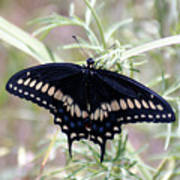Blue Black Swallowtail Poster