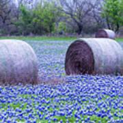 Blue Bonnets In Field Poster