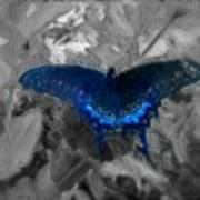 Blue Butterfly In Charcoal And Vibrant Aqua Paint Poster