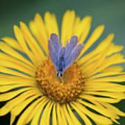 Blue Butterfly On Alpine Sunflower Poster