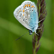 Blue Butterfly On Grass Poster