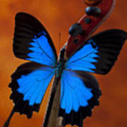 Blue Butterfly On Violin Poster