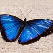 Blue Buttterfly Poster