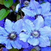 Blue Clematis Poster
