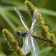 Blue Dasher Dragonfly-female Poster
