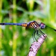 Male Blue Dasher 1 Poster