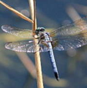 Blue Dragonfly Poster by Carol Groenen