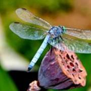 Blue Dragonfly On Lotus Seed Pod Back View Poster