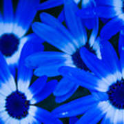 Blue Daisies, Medford Oregon Poster