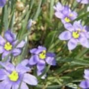 Blue Eyed Grass Poster