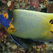 Blue Face Angelfish Poster