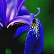 Blue Flag Iris Poster