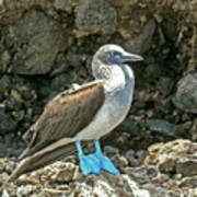 Blue Footed Boobie Poster