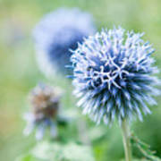 Blue Globe Thistle Flower Poster