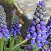 Blue Grape Hyacinths Poster