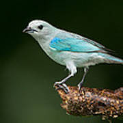 Blue-gray Tanager Thraupis Episcopus Poster