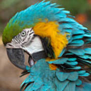 Blue-green-yellow Macaw Poster
