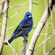 Blue Grosbeak Poster