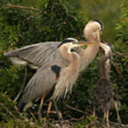Blue Heron Family Poster
