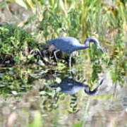 Blue Heron Fishing In A Pond In Bright Daylight Poster