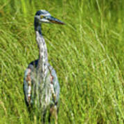 Blue Heron In A Marsh Poster
