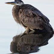 Blue Heron In Reflection, St. Marks Wildlife Refuge, Florida Poster